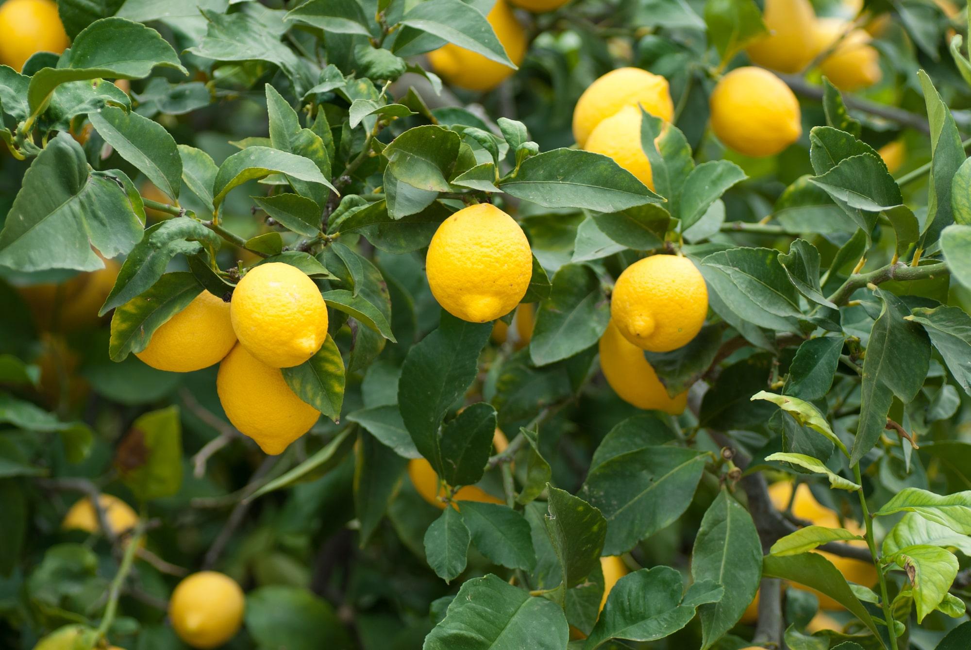 Doğru gübrelemeyle yetişen limonlar.