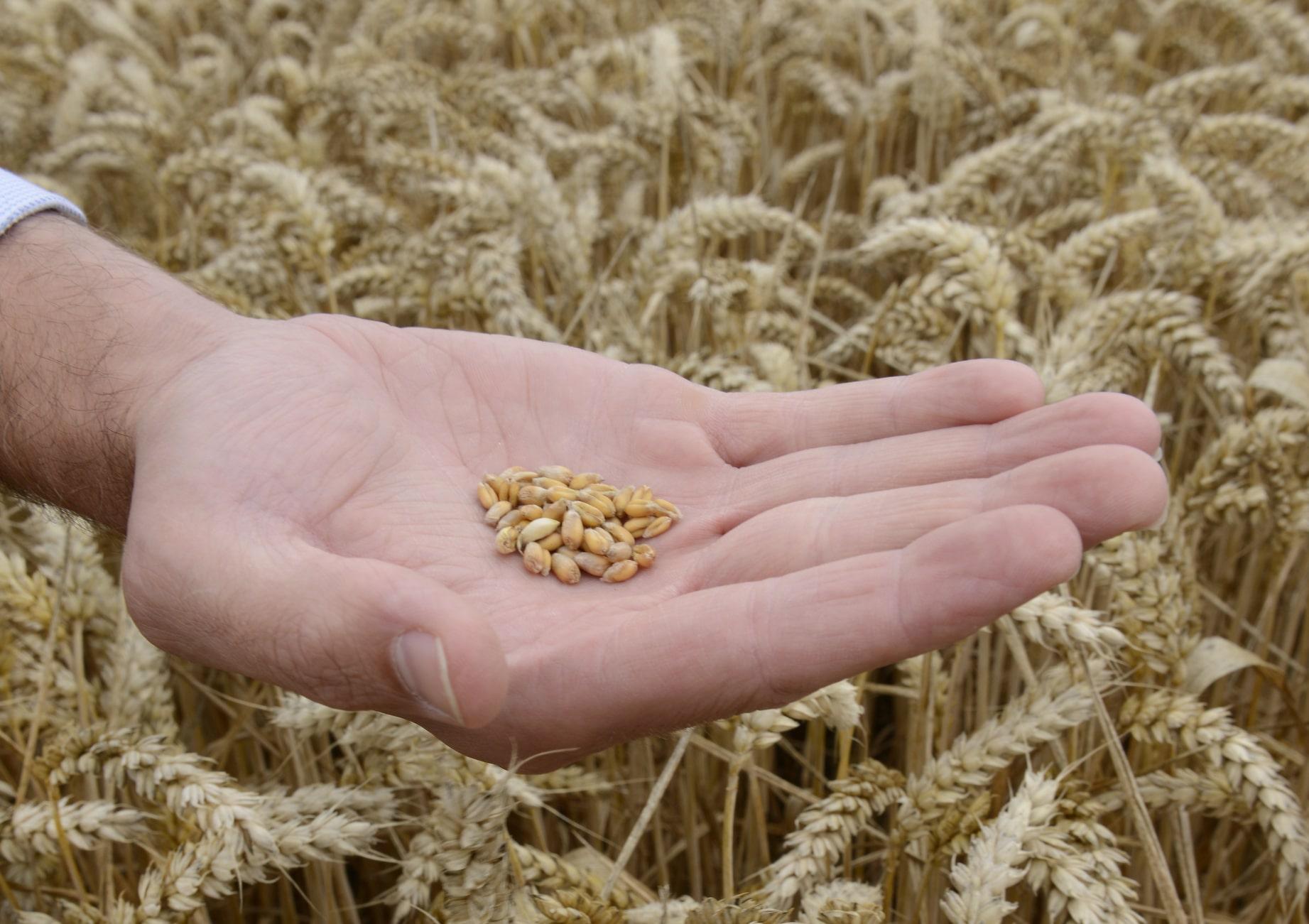 Buğday daneleri.