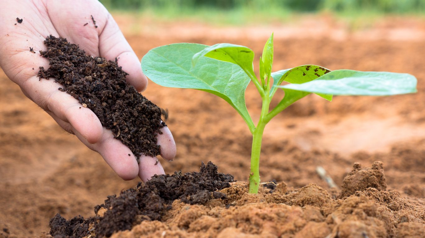 Temsili bitkiye kompost verilmesi.