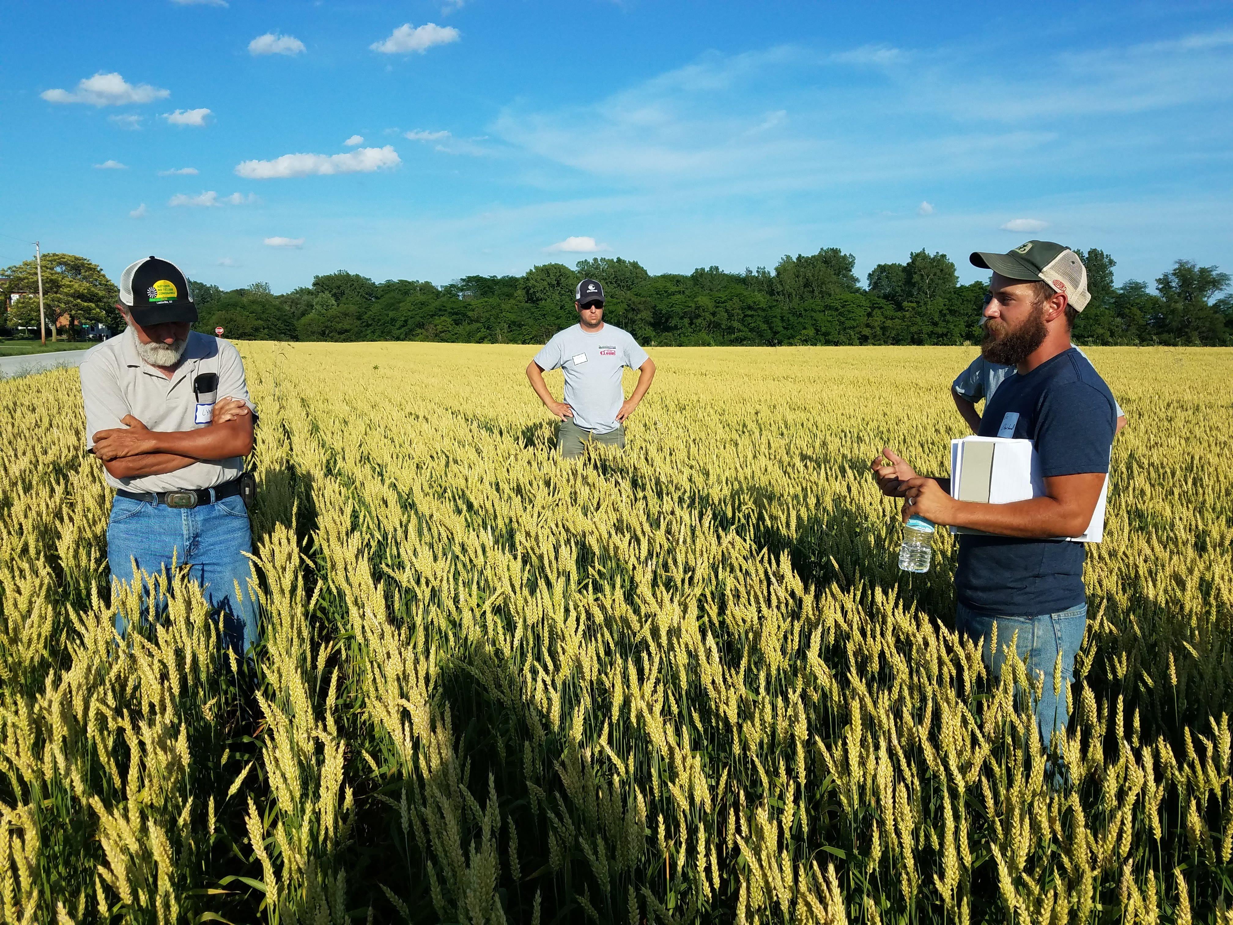 Buğday tarlası.