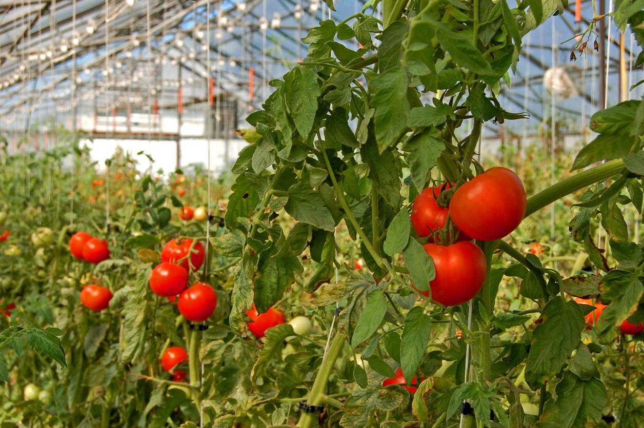 Doğru gübre uygulaması yapılmış sera domatesleri.