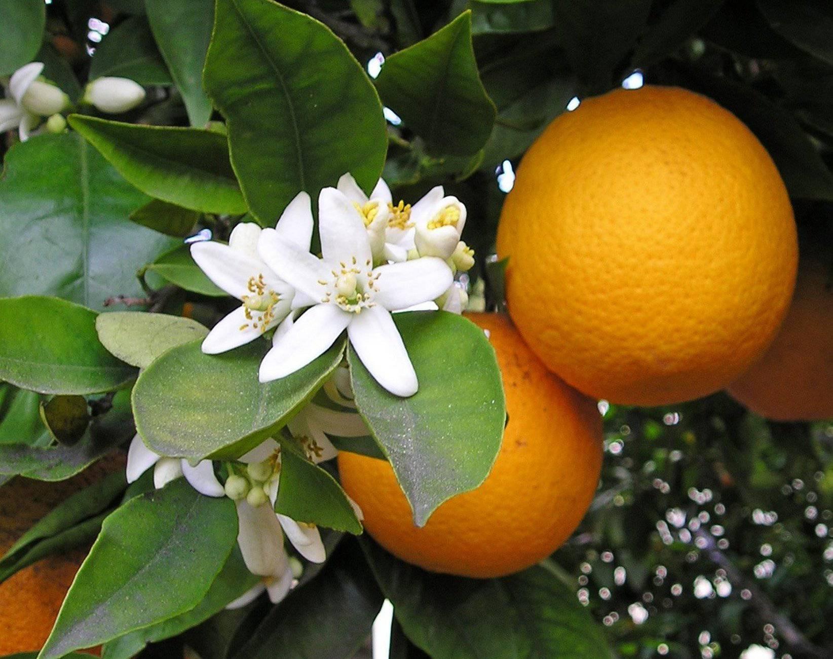 Portakal ağacı.