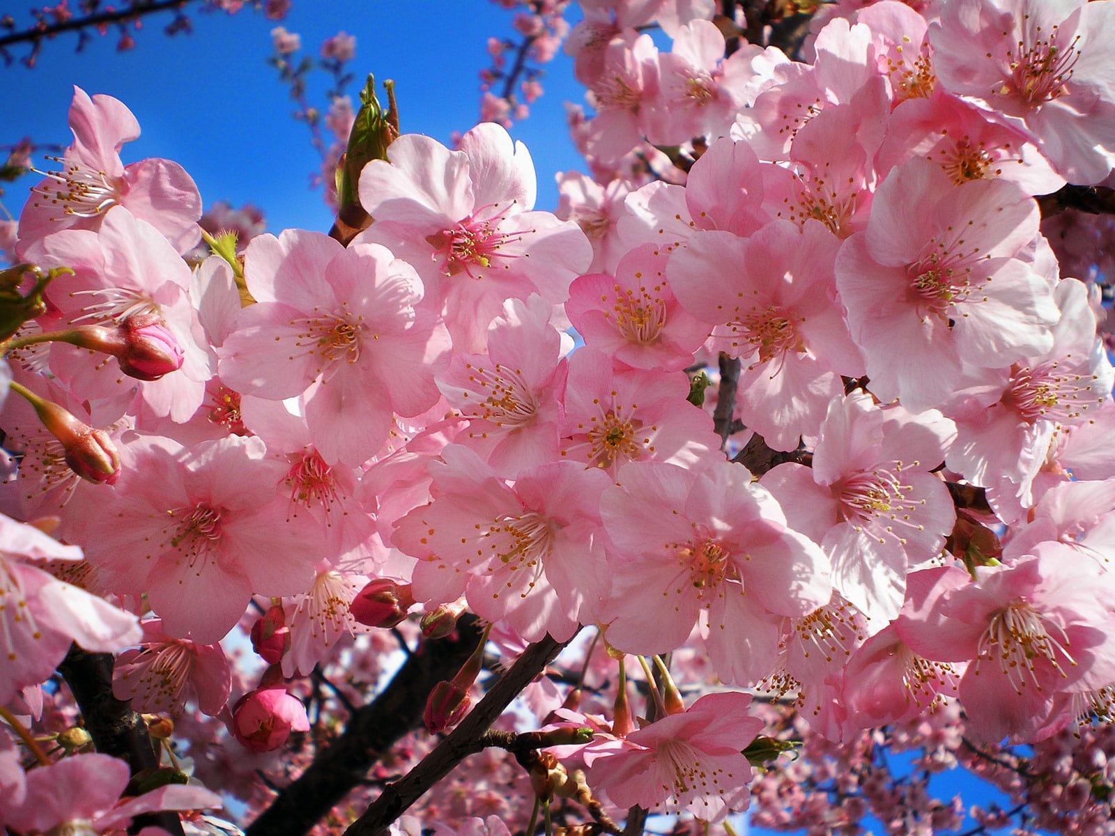 Çiçekteki kiraz ağacı.