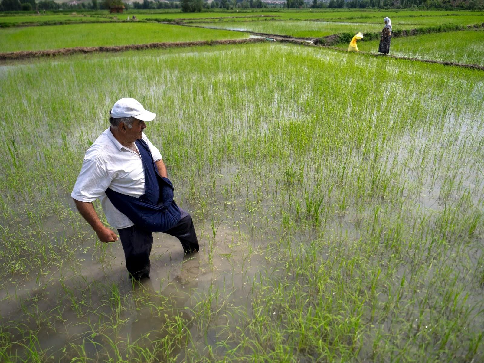 Pirinç tarlası.