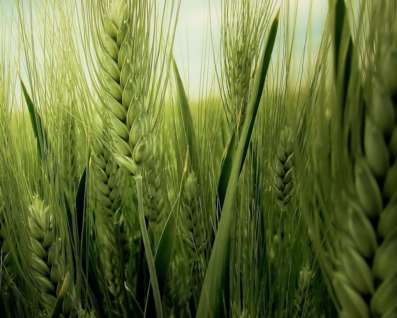 Buğday başakları.