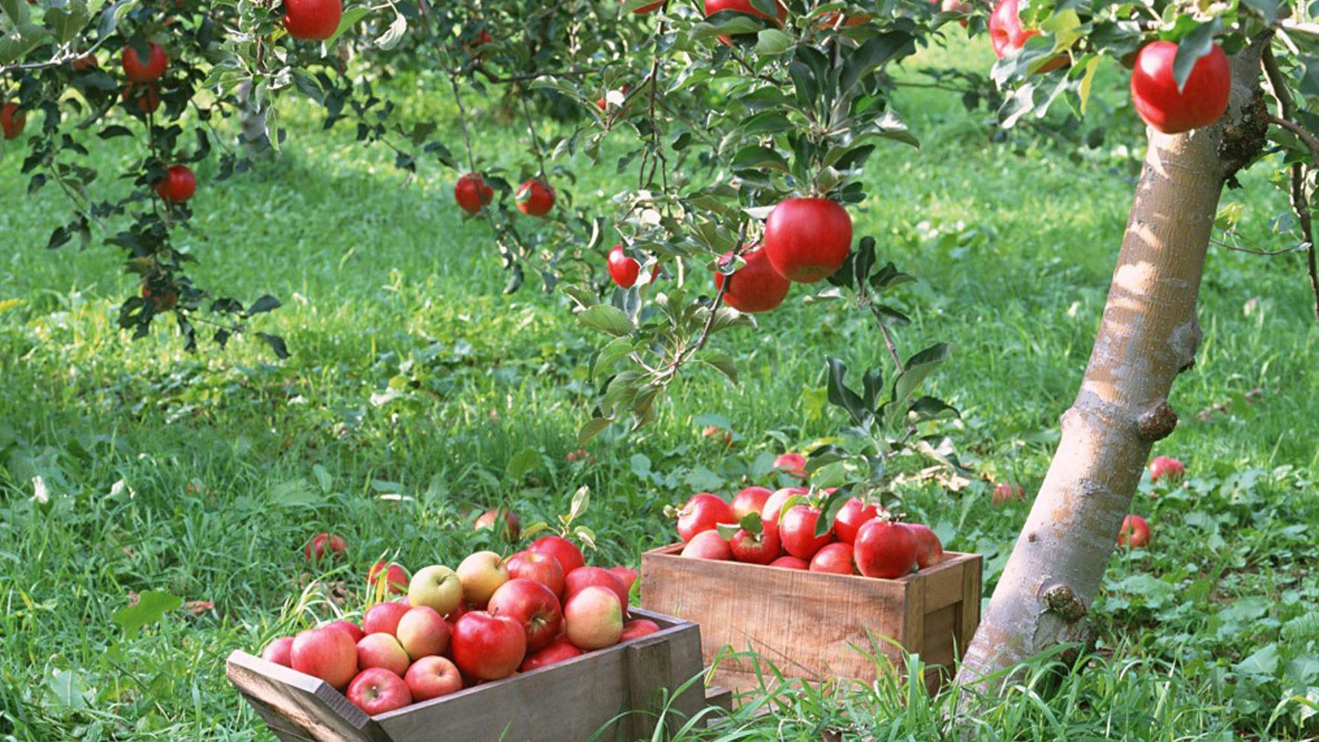 Elma ağaçları.