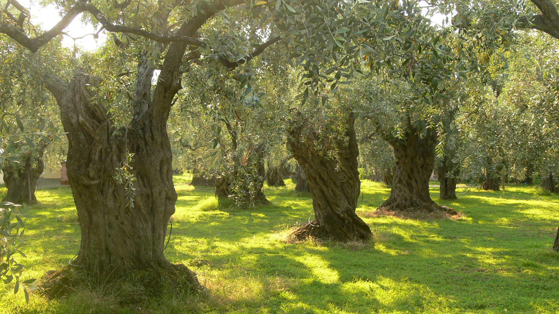 Zeytin ağaçları.