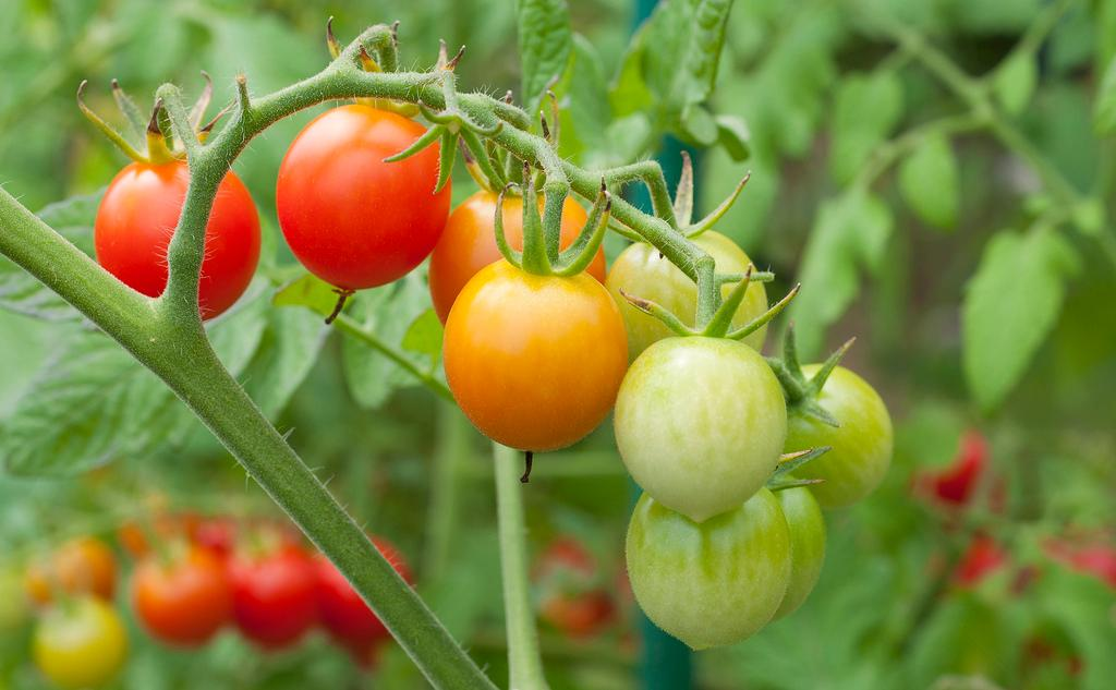 Genç meyveleriyle birlikte sırık domates çeşidi.