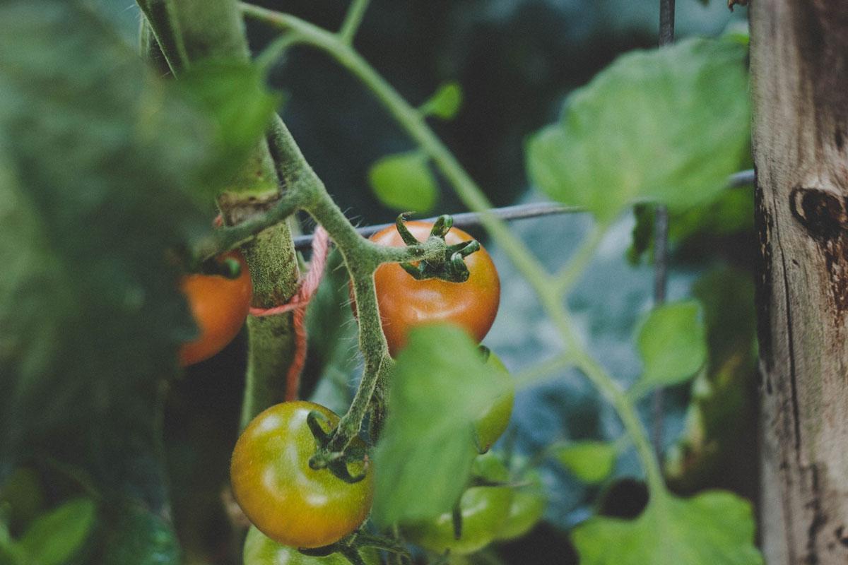 Askıya alınmış domates bitkisi