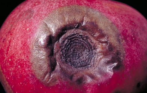 Kalsiyum eksikliğinden kaynaklı elmada acı benek hastalığı.