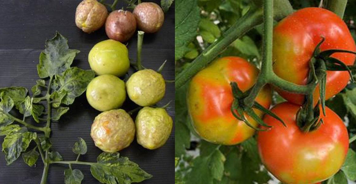 Bulaş durumundan dolayı sebzelerin Corona Virüsü olarak adlandırılan bu virüs kendini domates ve kırmızı biberde göstermektedir.