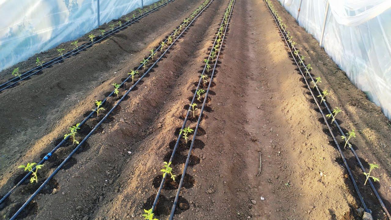 Doğru aralıklarla dikilmiş domates fideleri.