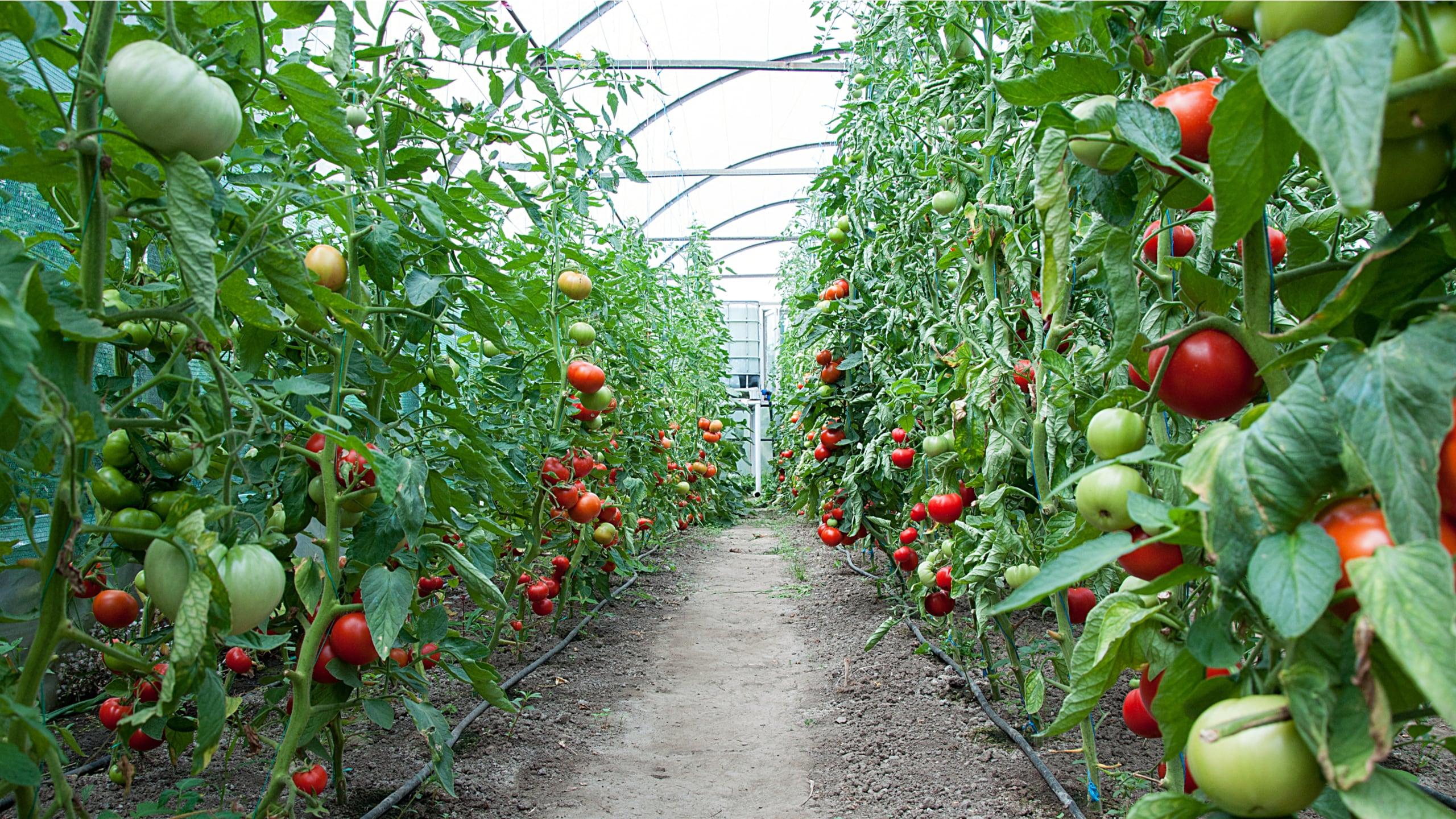 Son yıllarda yapılan bir çok araştırma, biyostimülantların bitki verimliliği üzerindeki olumlu etkilerini ortaya koymuştur.