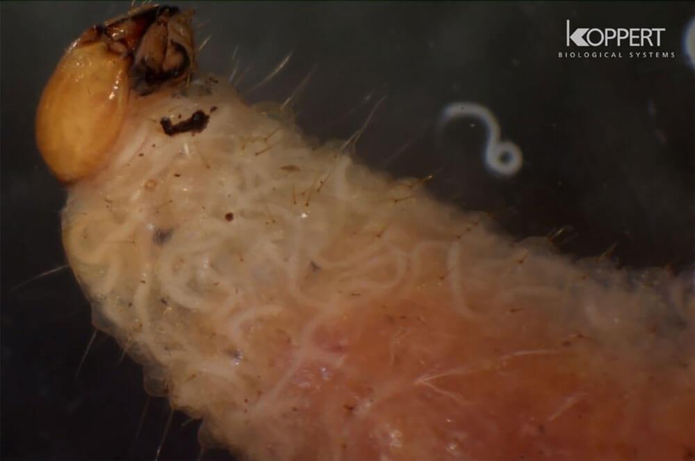 Larva İçinde Çoğalan Entomopatojen Nematodlar