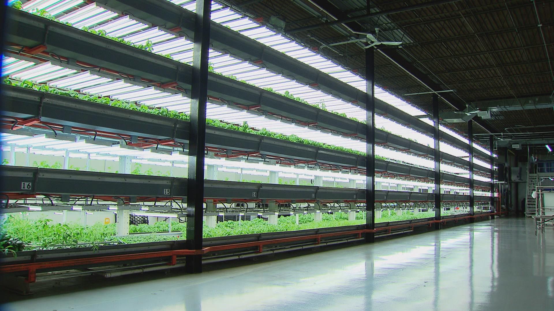 Dikey tarım yapılan bir tesis.