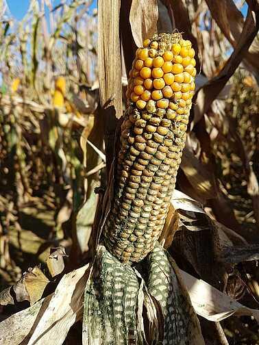 Hastalıktan etkilenmiş mısır bitkisi.