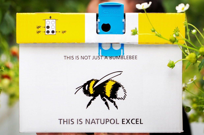 Örtüaltı domates yetiştiriciliğinin vazgeçilmezi haline gelen bombus arıları, çeşitli faydaları sebebiyle diğer bitkilerde de artarak kullanılmaya devam ediyor.