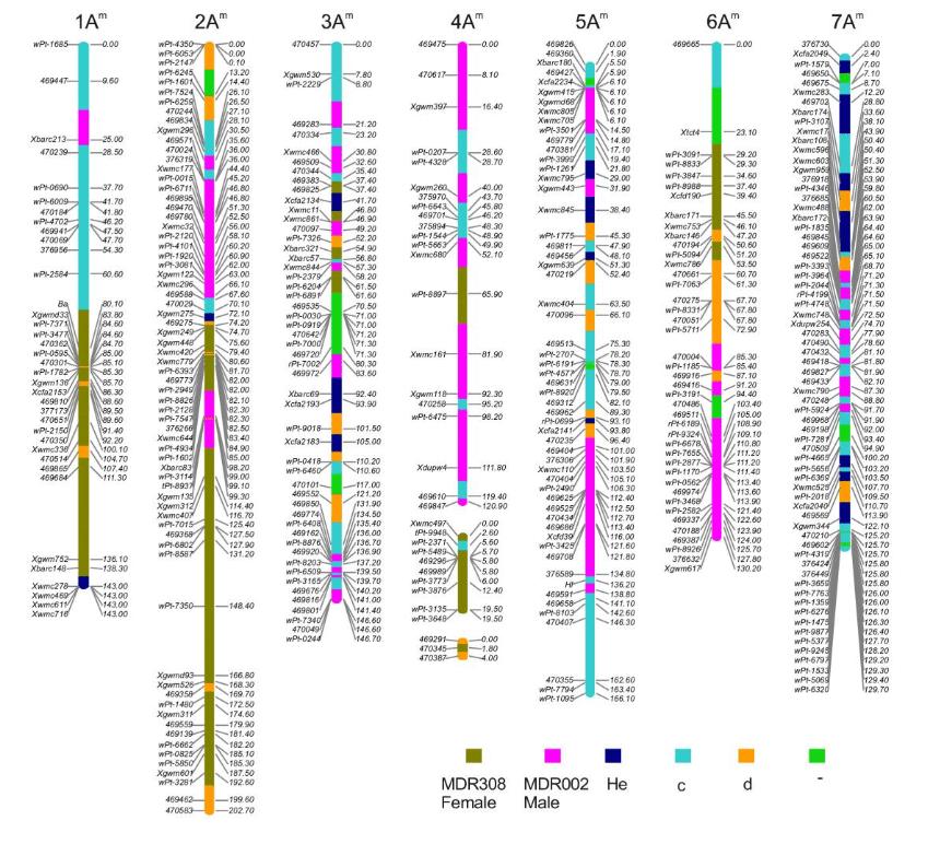 T. monococcum'un genetik bağlantı haritası.