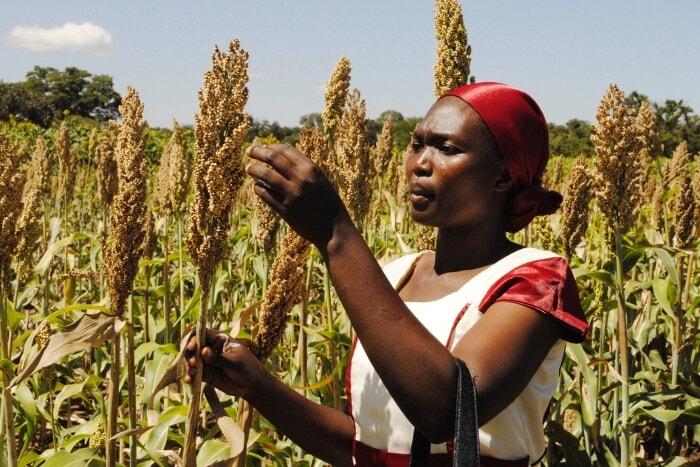 Sorgum tarlasında inceleme yapan Sudan'lı bir kadın