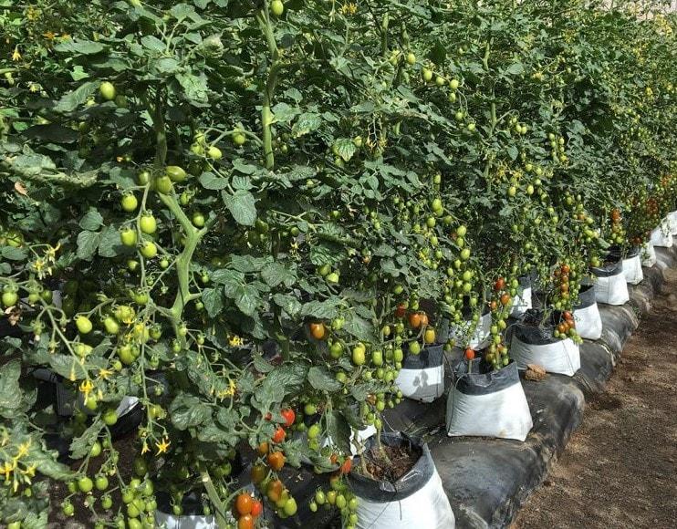ToBRFV dirençli plum kiraz domatesler