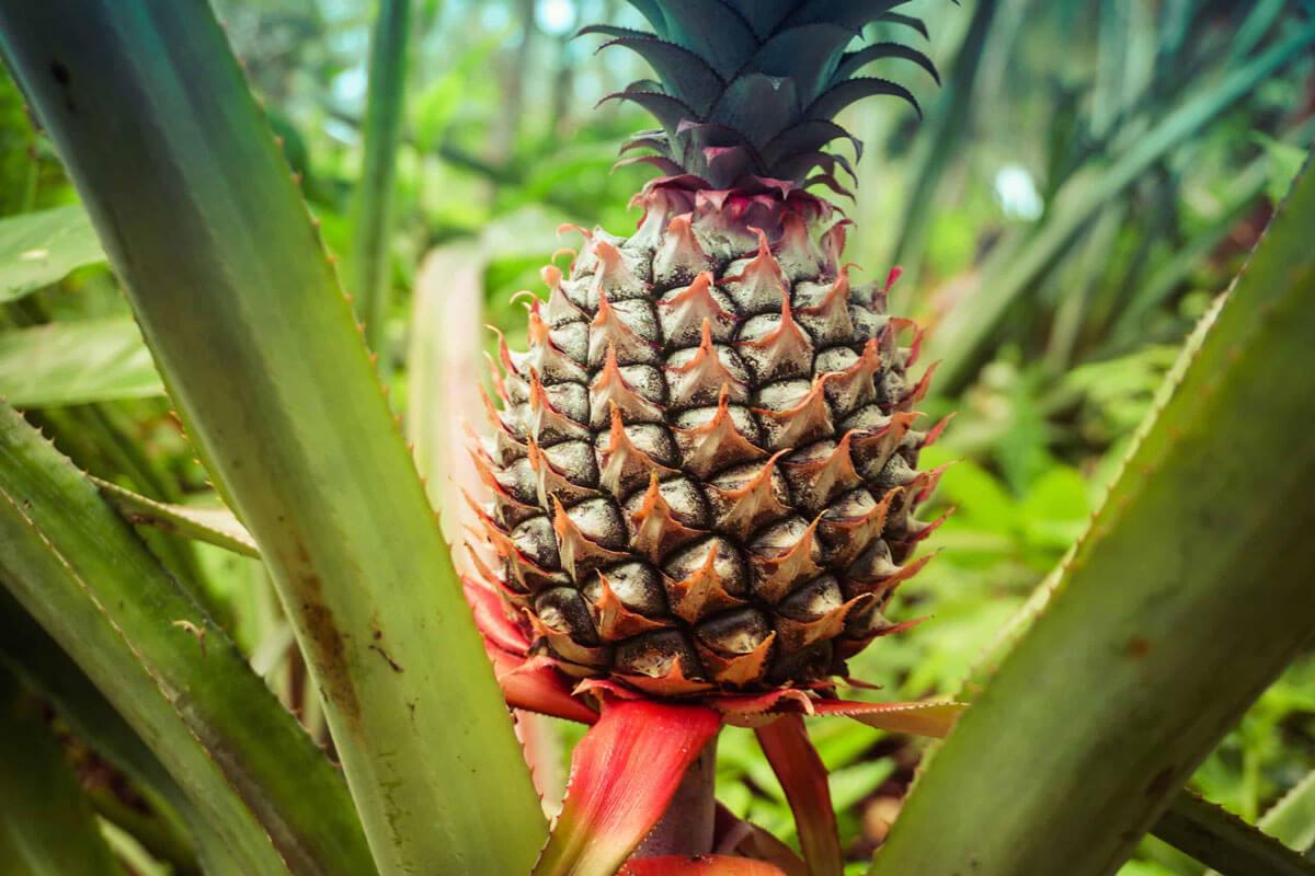 Ananas bitkisinin çiçeği, meyvesi ve yaprakları.