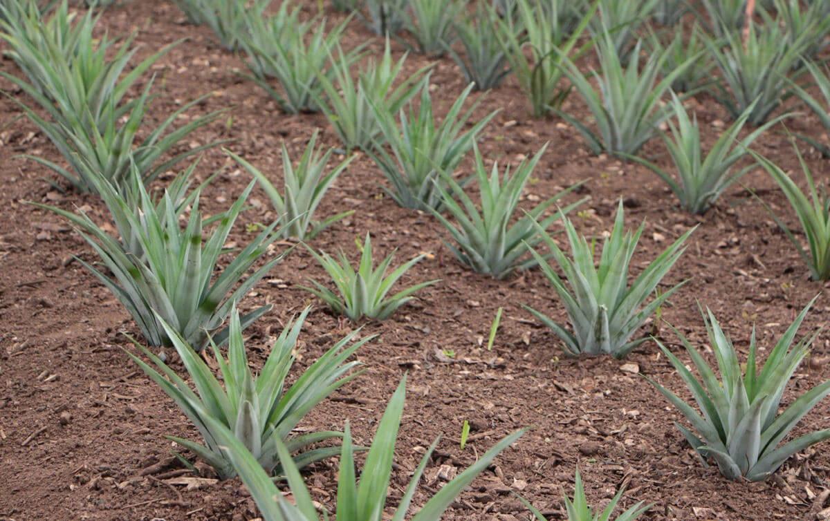 Dikimi yapılmış ananas fideleri.
