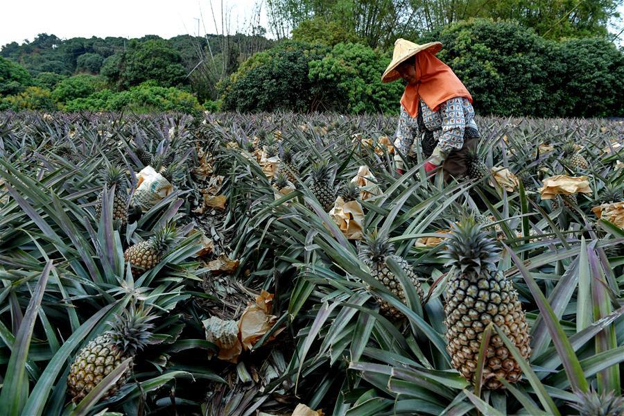 Ananas hasatı yapan kadın çiftçi.