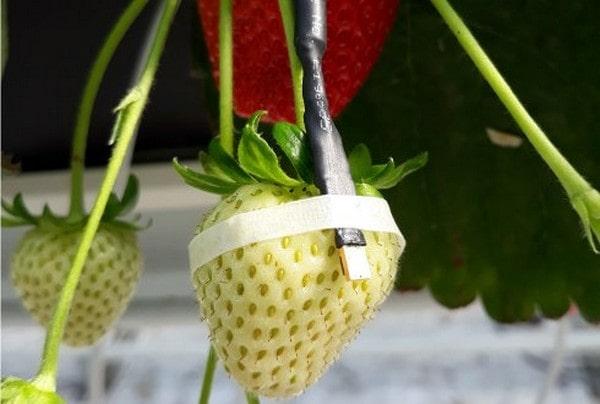 Araştırma için üzerine sensör takılan çilek meyvesi