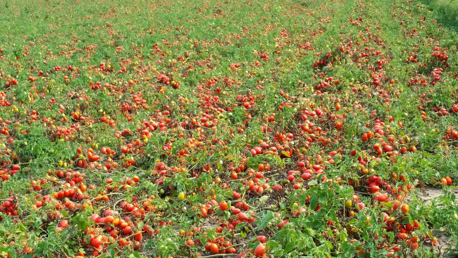 Domates tarlası