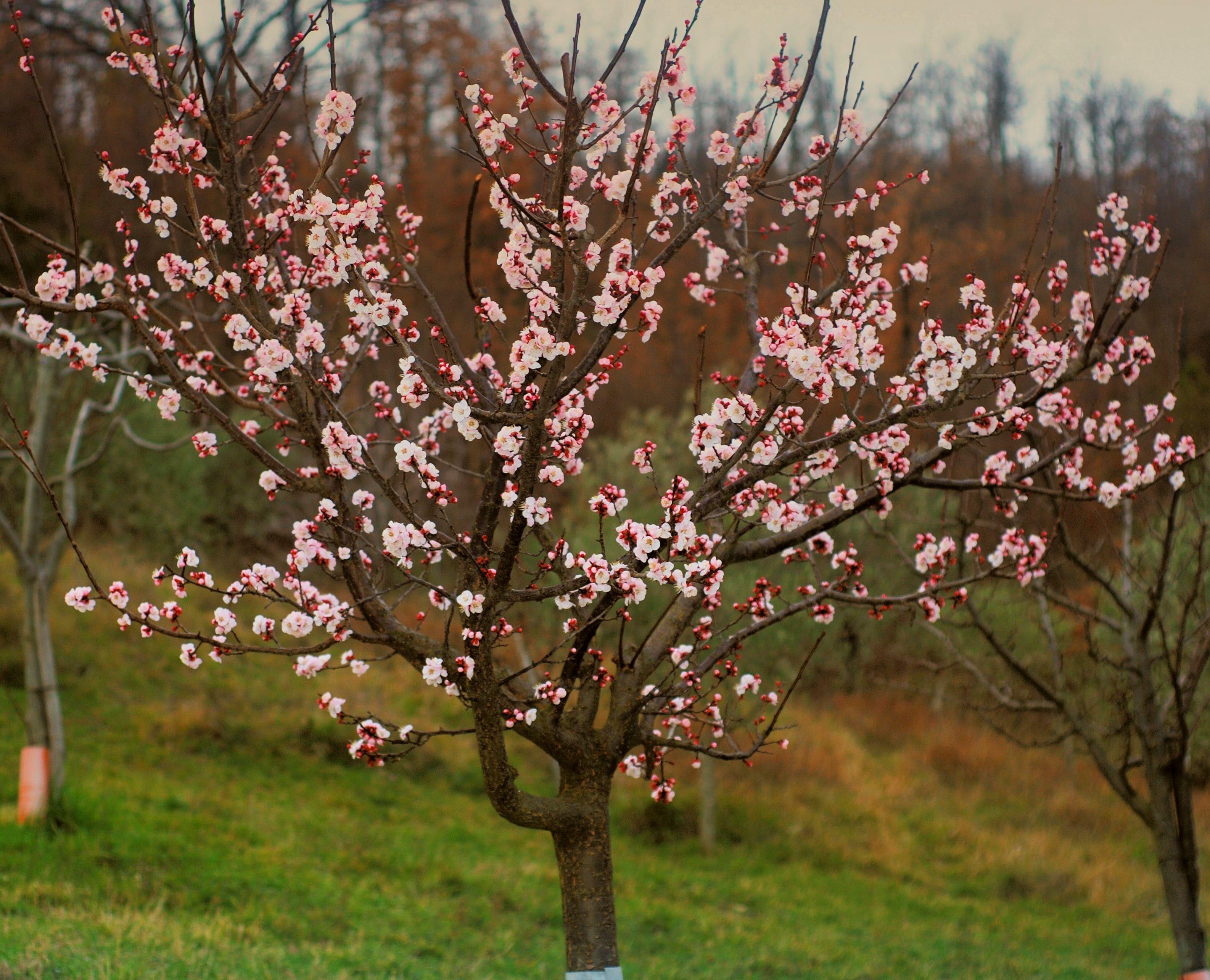 Kayısı ağacı