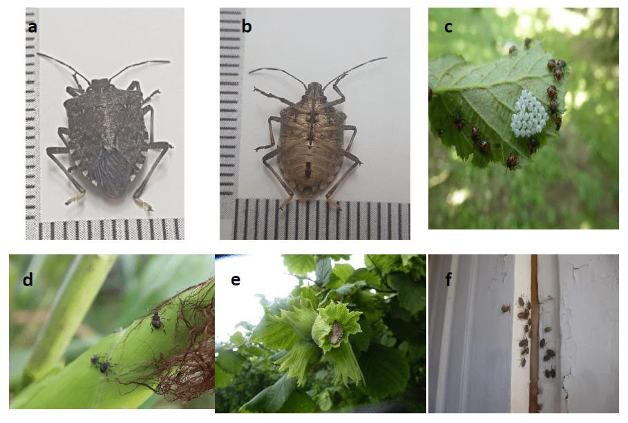 Kahverengi kokarca böceğinin farklı görünümleri