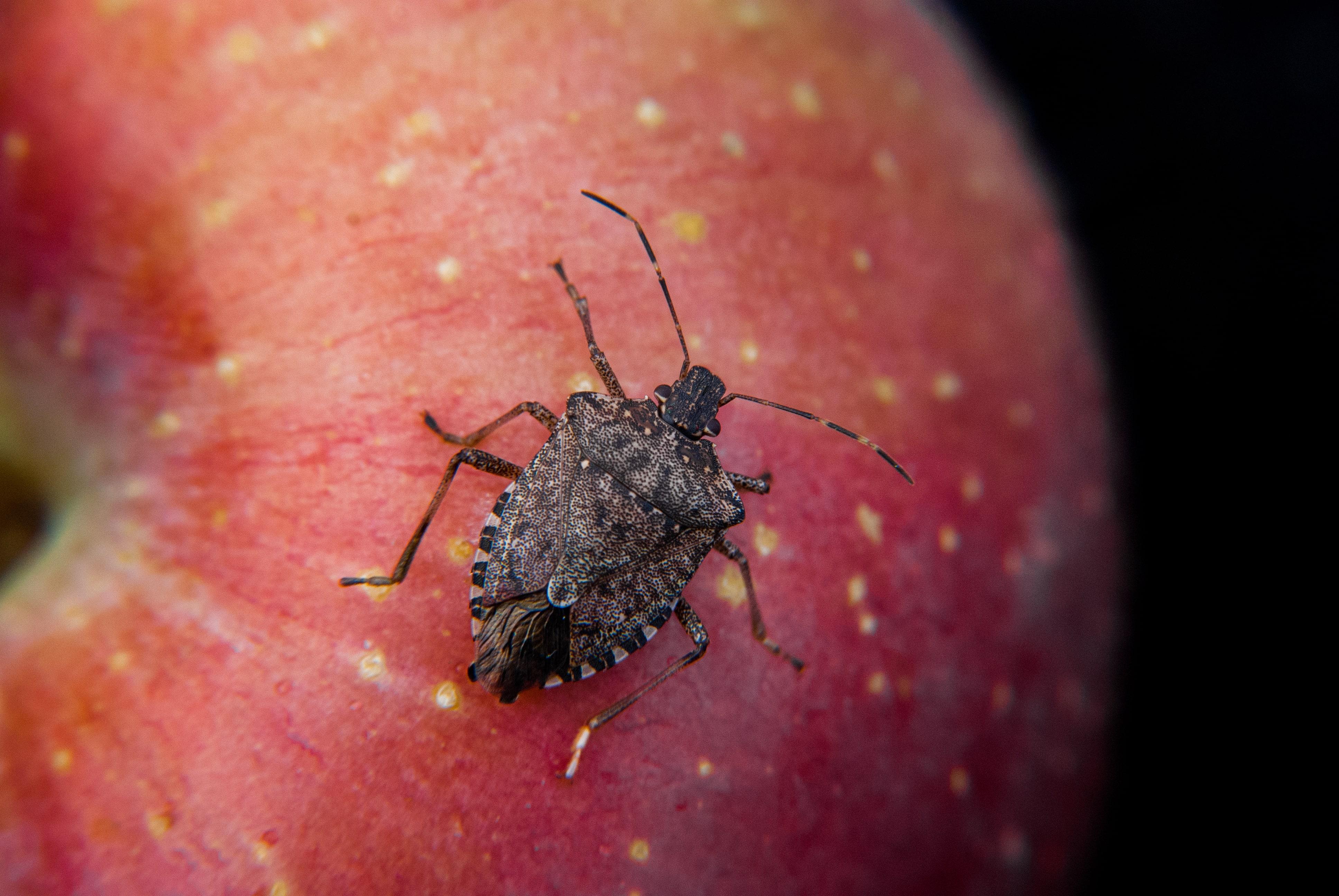 Elma üzerindeki kahverengi kokarca böceği