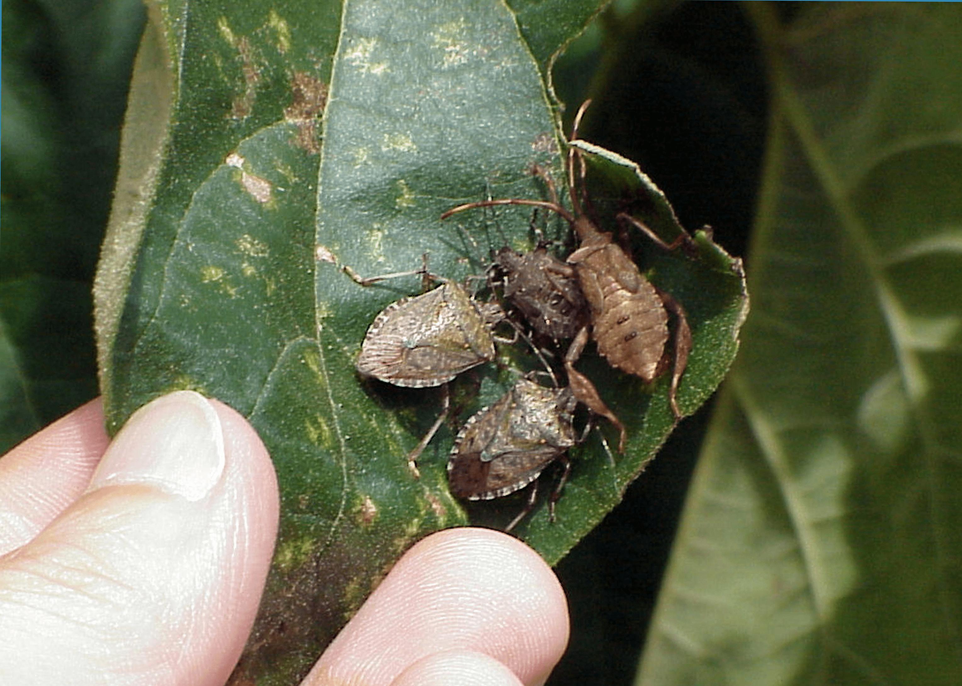 Kahverengi kokarca böceği