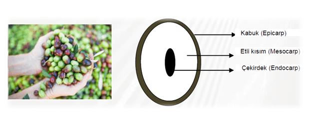 Zeytinin kısımları