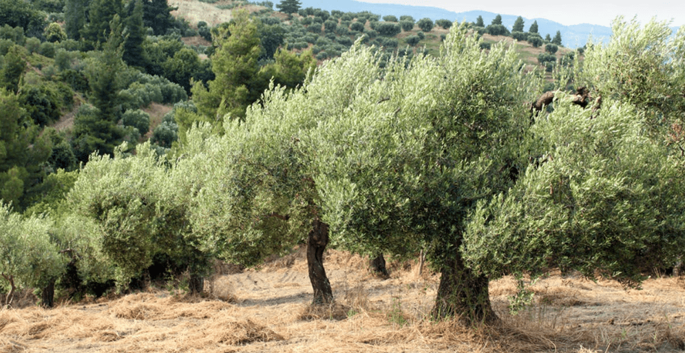Zeytinyağının işlenmesi sonucunda elde edilen pirinanın, uygulamalarda toprağın agregat stabilitesini kısa bir sürede arttırdığı gözlemlenmiştir.