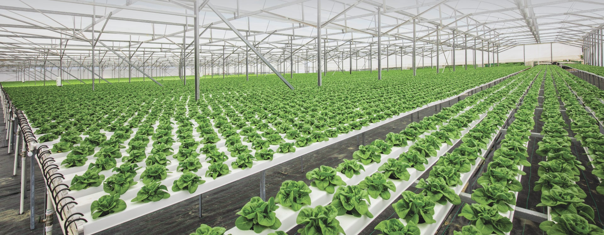 Geleneksel tarıma göre daha verimli olan hidroponik yetiştiricilik, aynı zamanda üreticiye kontrollü ve tasarruflu bir yetiştirme ortamıda sağlar.