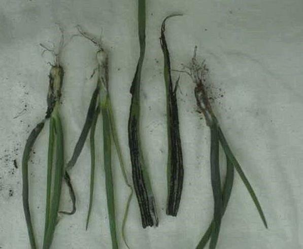 Hastalığın bitki üstündeki hasarı