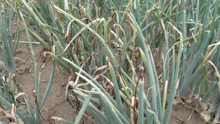 Soğan mildiyösünün bitkideki zararı