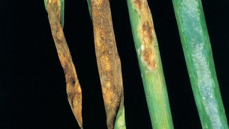 Mildiyönün soğan yapraklarındaki zararı