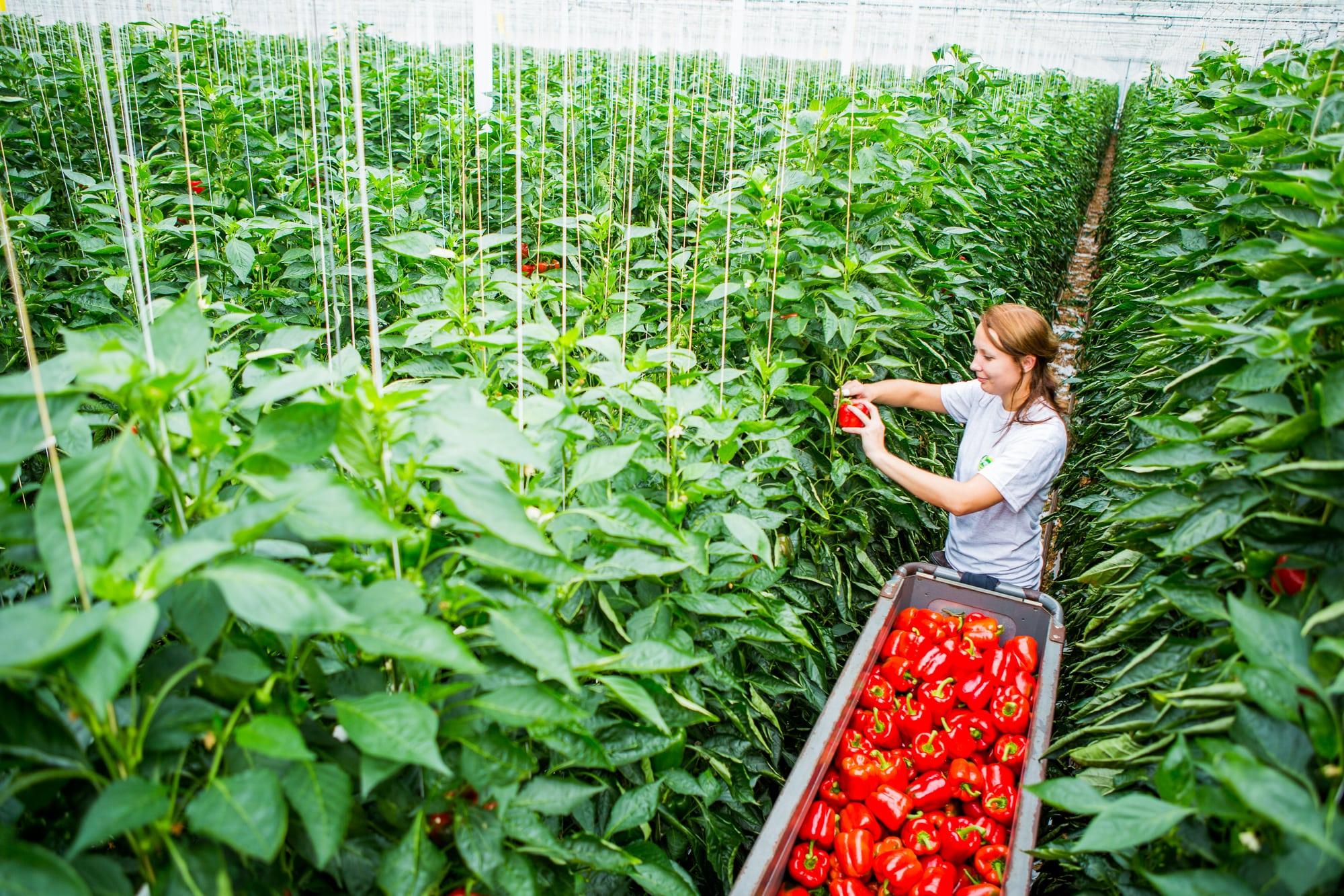 Biberde hasat anı