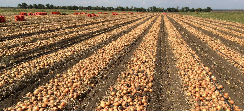Soğan tarlasında hasat dönemi.