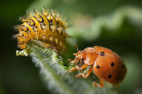 Karpuz telli böceği larvası ve ergini