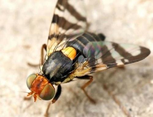 Kavun sineği