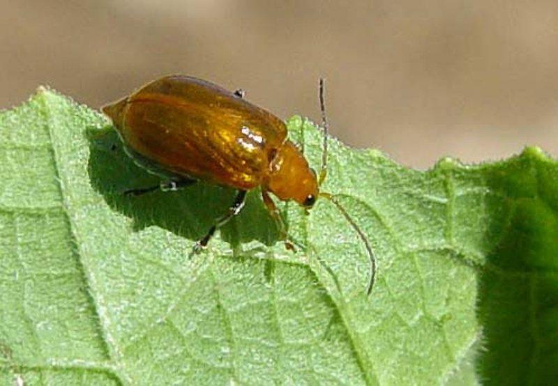 Kavun kızıl böceği