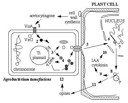 Agrobacterium tumefaciens  T-DNA Ti plasmidinin  Bitki Genomuna Transferi