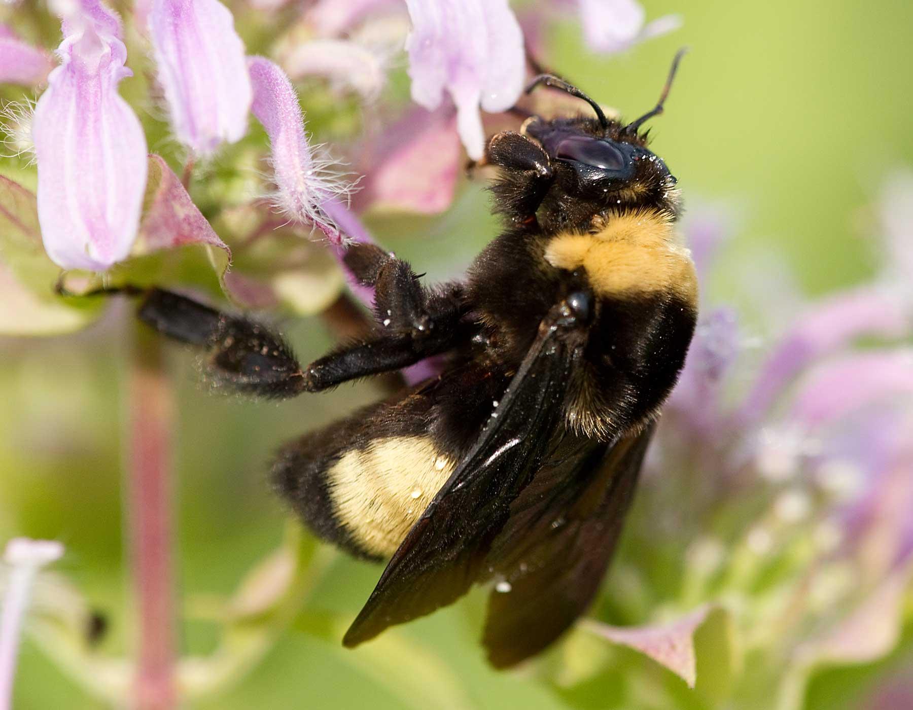 Bombus arısı