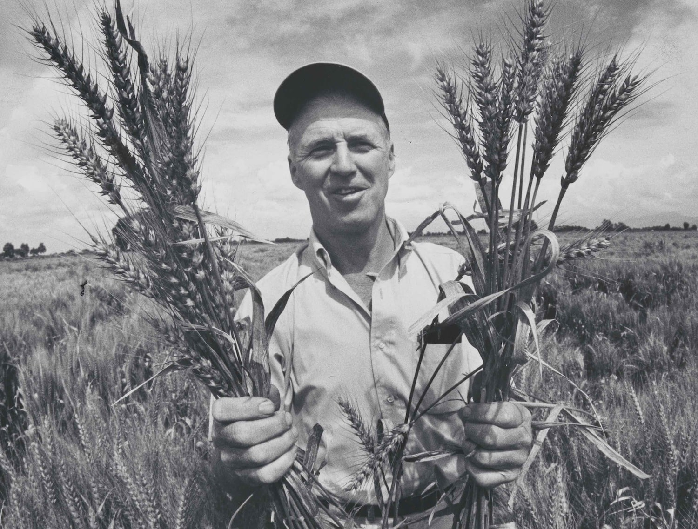 Norman Borlaug Buğday Denemelerinde