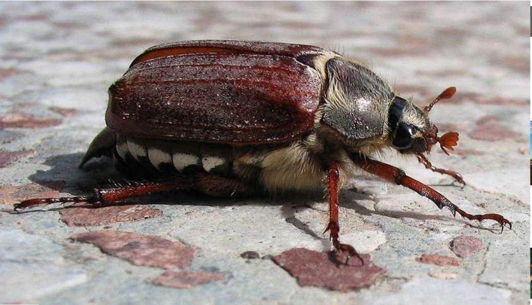 Mayıs böceği dişisi