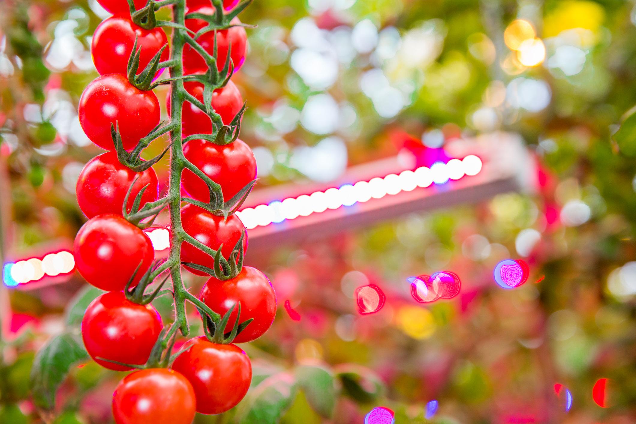 Led aydınlatma ile üretilen domatesler