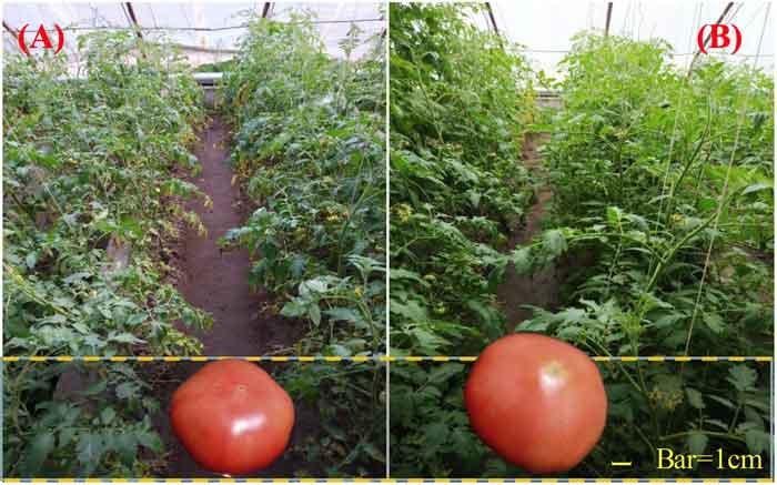 Tarımsal organik atıkların fermantasyonu ile CO2 zenginleştirmesinin domates bitkilerinin büyümesi üzerindeki etkilerinin görsel olarak sergilenmesi. Resim A = ortam CO2 işlemi, Resim B = tarımsal organik atığın fermantasyonu yoluyla CO2 zenginleştirme işlemi. Kaynak: Hao ve ark. (2020).